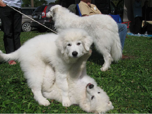 Great Pyr Pups at Play