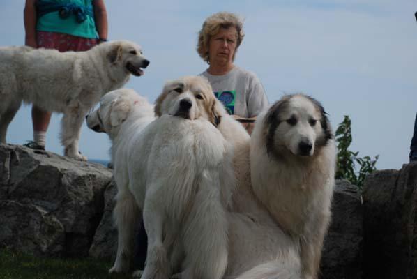 Great Pyrenees Mountain Dog