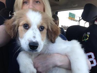 Bringing our Maui Bardot to her forever home!