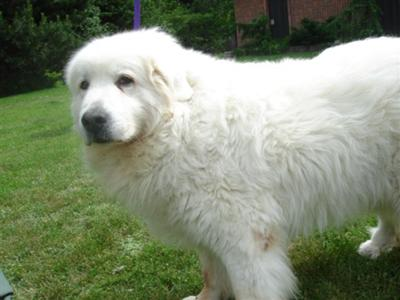 Great Pyrenees Rescue Annie