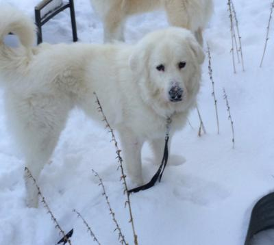 Great Pyr Rescue - Barron