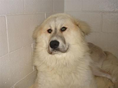 Great Pyrenees Rescue Bobby