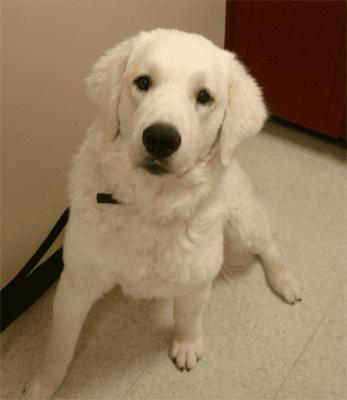Great Pyrenees Rescue Bumbles