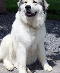 Great Pyrenees Rescue Zeus / Bubba