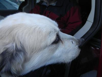 Great Pyrenees Rescue