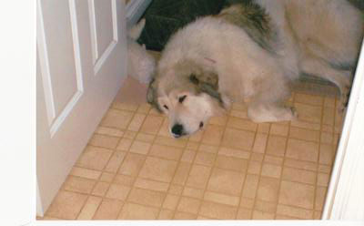 Great Pyrenees Rescue Farley