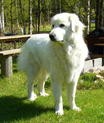Frank - the Guardian Great pyr