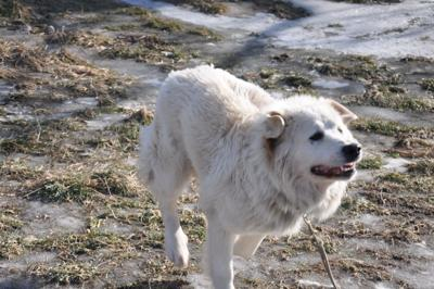 Great Pyrenees Rescue Abbie