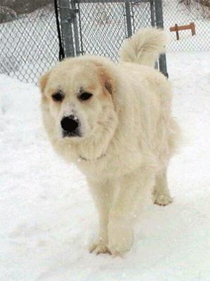 Great Pyrenees Rescue Churchill