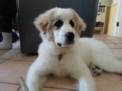 Great Pyr Rescue - Conner