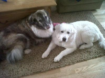 Great Pyrenees Rescue Elle