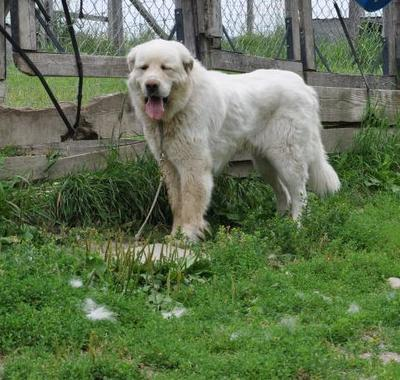 Great Pyrenees Rescue Jannie