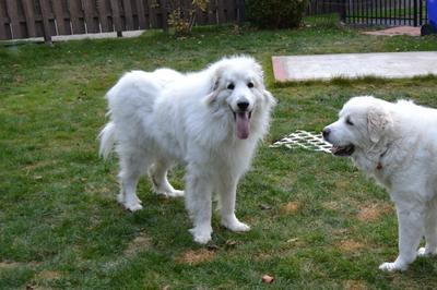 Great Pyrenees Rescue Jazz
