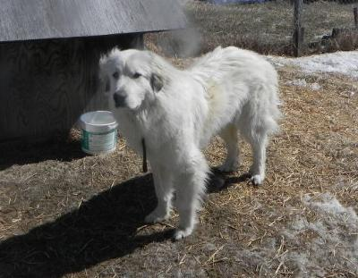 Great Pyr Rescue Lancelot