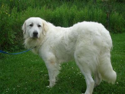 Great Pyrenees Rescue Martha