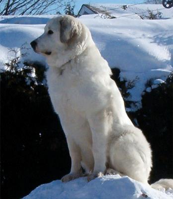 Great Pyrenees Rescue Maggie