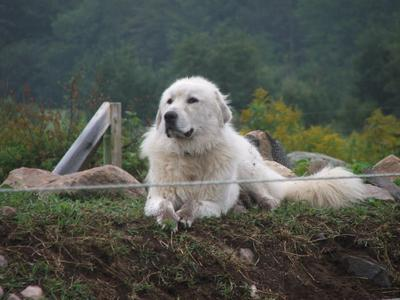 Great Pyr Rescue Max the farm dog