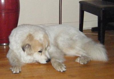 Great Pyrenees Rescue Oso