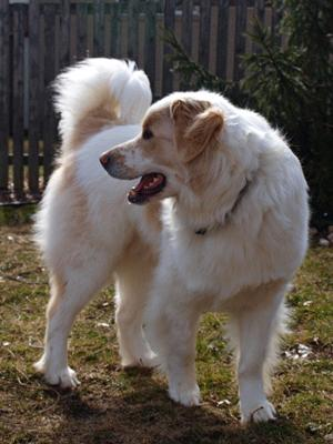 Great Pyrenees Rescue Shaggy