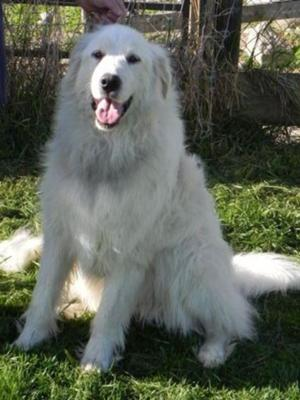 Great Pyrenees Rescue Silke