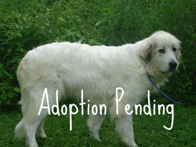 Great Pyrenees Rescue Yetti