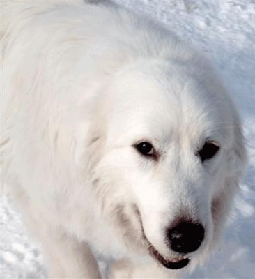 Great Pyrenees Lady