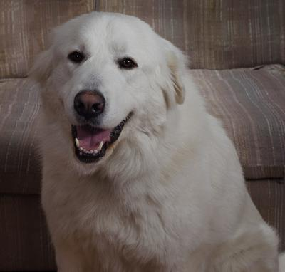 Great Pyrenees Rescue Big Shanti