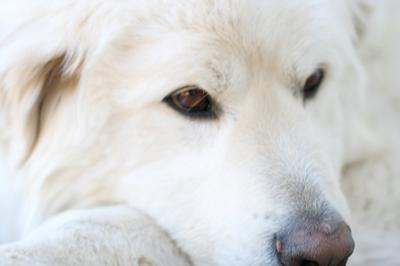 Great Pyrenees Guardian Gus