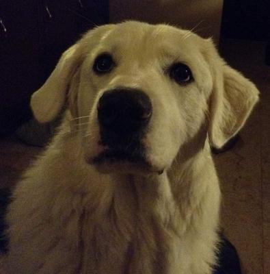 Great Pyrenees Rescue Lilly