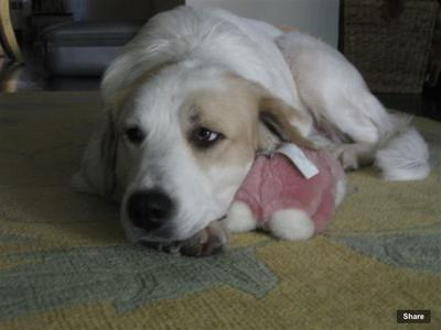 Great Pyr Rescue - Lily