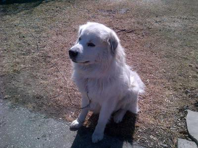 Great Pyr Rescue - Louie