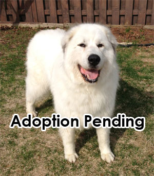 Great Pyrenees Rescue Maya