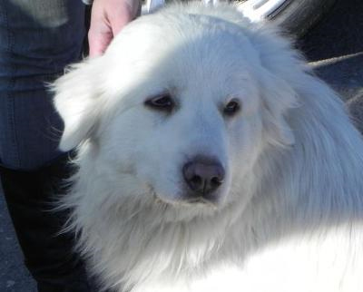 Great Pyrenees Rescue Millie