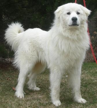 Great Pyrenees Rescue Oscar