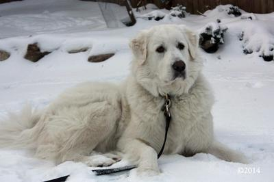 Great Pyr Rescue - Ramona