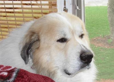 Great Pyrenees Rescue Ryu