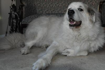 Great Pyrenees Rescue Buddy