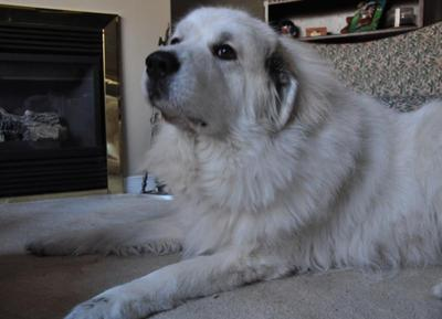Beautiful Great Pyr Buddy