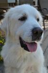 Great Pyrenees Rescue Luna