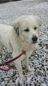 Great Pyrenees Rescue Sarge