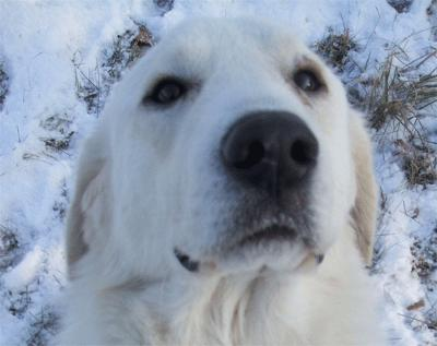 Great Pyrenees Rescue Wayne