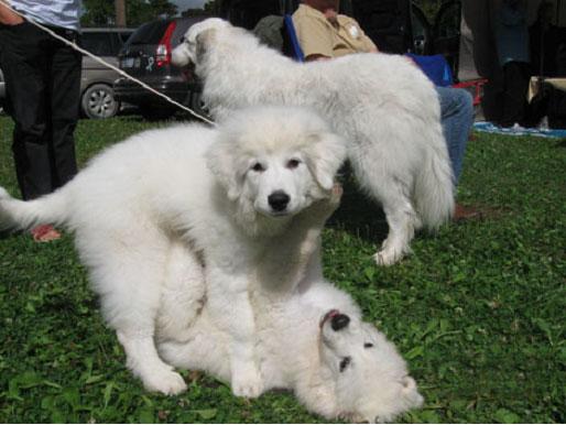 Great Pyr Pups at Play