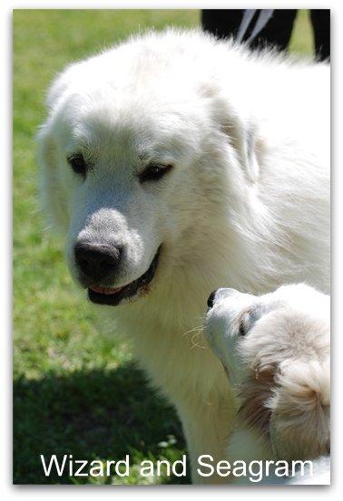 Great Pyr Puppy