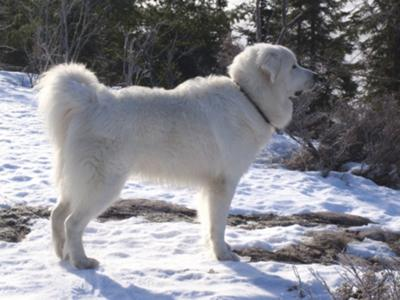 Great Pyrenees Rescue Bear
