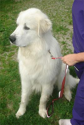 Great Pyrenees Rescue Bubba
