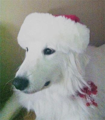 Great Pyrenees Rescue Ladybelle