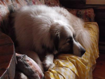Great Pyrenees Rescues Jack and Leo