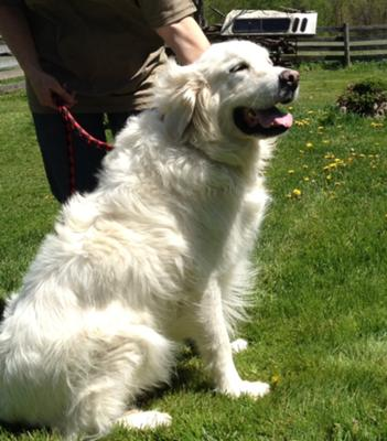 Great Pyrenees Rescue Tucker