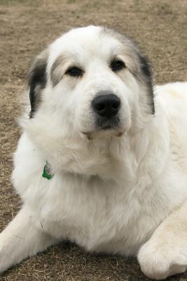 Great Pyrenees Rescue Venus