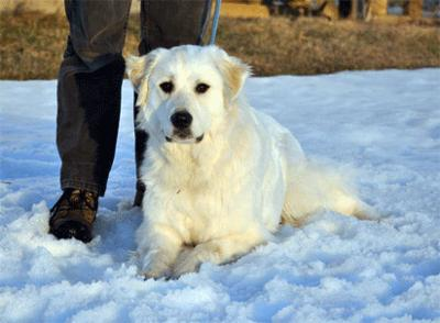 Great Pyrenees Rescue Vicki
